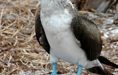 Galapagos – Pinguine am Äquator