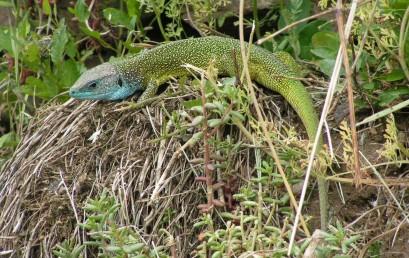 Von Smaragdeidechse bis Auerhuhn – Biodiversität im Bayerischen Wald und Klimawandel